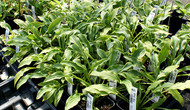 Tattle Tails Hosta - 3 Inch Container (NEW For 2017!)