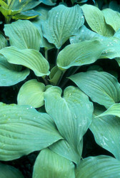 Dragon's Eye Hosta - Two Gallon
