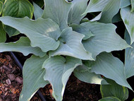 'Astral Bliss' Hosta Courtesy of Don Dean