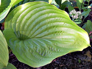 Hosta 'Hot Air Balloon' Courtesy of Rick Goodenough