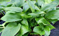 Kingsize Hosta - 4.5 Inch Container
