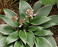 Silver Shadow Hosta - 4.5 Inch Container (NEW For 2017!)