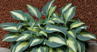 Timeless Beauty Hosta - 4.5 Inch Container (NEW For 2017!)