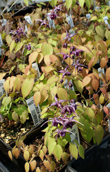 Epimedium 'Purple Prince'