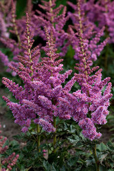 Astilbe 'Little Visions in Purple' Courtesy of Walters Gardens