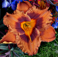 Hemerocallis 'Mighty Chestnut' - 4.5 Inch Container (NEW For 2017!)