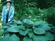 Humpback Whale Hosta - Two Gallon