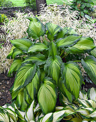 Angel Falls Hosta - 4.5 Inch Container