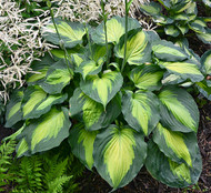 Beyond Glory PPAF Hosta - 4.5 Inch Container (NEW For 2017!)