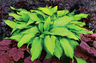 Prairie's Edge Hosta - 4.5 Inch Container (NEW For 2017!)
