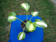 Parthenon Hosta - 4.5 Inch Container (NEW For 2017!)