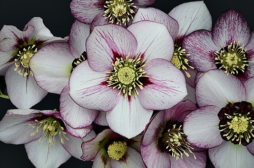 Helleborus 'French Kiss' Courtesy of Walters Gardens