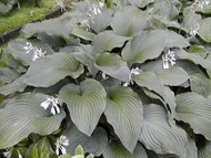 Coal Miner Hosta - Two Gallon