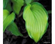 Laura Lanier Hosta - Two Gallon