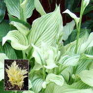 White Feather Hosta - 4.5 Inch Container (NEW For 2017!)