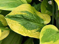 Glad Rags Hosta - 4.5 Inch Container