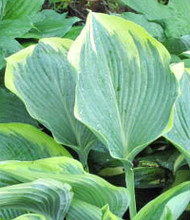 Lakeside Fancy Pants Hosta - 4.5 Inch Container