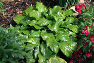 Red Stepper Hosta - 4.5 Inch Container
