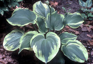 Earth Angel Hosta - 4.5 Inch Container