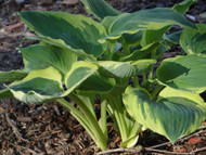 Band of Gold Hosta - 4.5 Inch Container