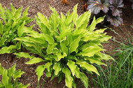 Lakeside Down Sized Hosta - 3 Inch Container