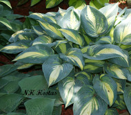 Remember Me Hosta - 65mm Starter Plug
