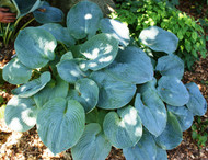 Samual Blue Hosta - 4.5 Inch Container
