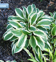 Crepe Soul Hosta - 3 Inch Container