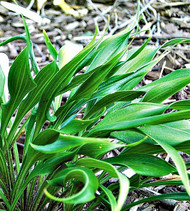 Tortifrons Hosta - 3 Inch Container