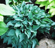 Slim and Trim Hosta - 4.5 Inch Container