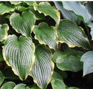 Flapjack Hosta - 4.5 Inch Container