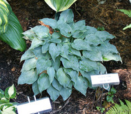 Gemstone Hosta - 3 Inch Container