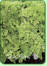 Himalayan Maidenhair Fern - 4.5 Inch Container