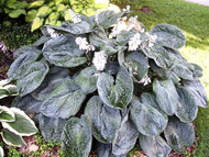 Blueberry Waffles Hosta - 35mm Starter Plug