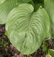 Grand Total Hosta - 4.5 Inch Container
