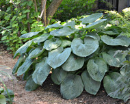 sieboldiana 'Elegans' Hosta - Two Gallon