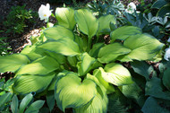 Paradise Power PP12117 Hosta - 4.5 Inch Container