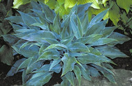 Blue Sliver Hosta