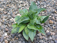 Blue Clown Hosta