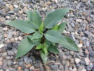 Hadspen Hawk Hosta - 4.5 Inch Container