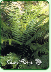Christmas Fern - 4.5 Inch Container