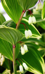 Variegated Solomon's Seal - 4.5 Inch Container