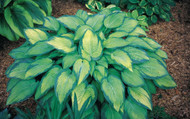 Paul's Glory Hosta