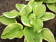 Fragrant Bouquet Hosta - 4.5 Inch Container