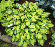 Little Sunspot Hosta - 3 Inch Container