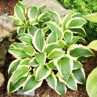 Scooter Hosta - 4.5 Inch Container
