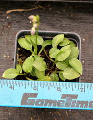 Kii Hime Hosta - 3 Inch Container