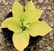 Lemontini Hosta - 3 Inch Container