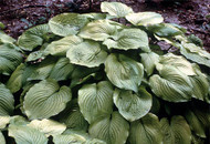 Glory Hosta - 4.5 Inch Container