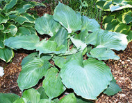 Vim and Vigor Hosta
